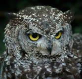 vänd owlen mot Arkivbild