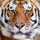 vänd tigrar mot Arkivbild