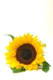 vända den framåt solrosen mot Royaltyfria Bilder