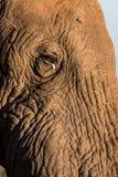 Vända mot av afrikansk elefant royaltyfri fotografi