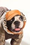 Vända mot av en bulldogg Arkivfoton