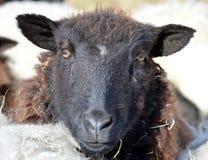 Vända mot av ett svart får Arkivfoton