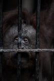 Vända mot av gorilla Arkivfoton