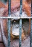 Vända mot av gorilla Royaltyfri Bild