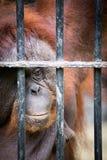 Vända mot av gorilla Arkivbild