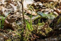 Vända mot den första gröna ödlan i dess naturliga livsmiljö Fotografering för Bildbyråer