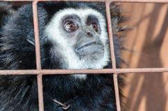 Vända mot och ögon som slås ned av gibbon i en bur Royaltyfria Bilder