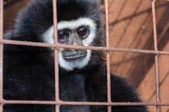 Vända mot och ögon som slås ned av gibbon i en bur Fotografering för Bildbyråer