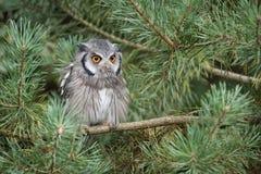 vända mot vita owlscops Arkivbild