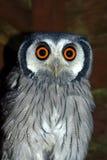 vända mot vita owlscops Royaltyfri Bild