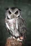 vända mot vita owlscops Arkivfoton