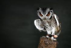 vända mot vita owlscops Fotografering för Bildbyråer