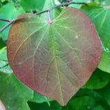 Vändande färger för rött och grönt vinrankablad arkivfoto