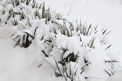 Vändkretsen blommar under snö Arkivfoto
