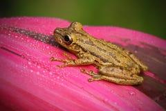 Vändkretsgroda Stauffers Treefrog, Scinax staufferi som sitter på de rosa sidorna Groda i livsmiljön för naturvändkretsskog Costa Fotografering för Bildbyråer