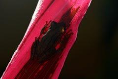 Vändkretsgroda Stauffers Treefrog, Scinax staufferi som sitter på rosa sidor Royaltyfri Bild
