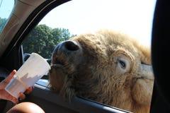 Vänlig buffel som äter från en kopp på zoo Arkivbild