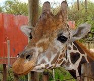Vänlig giraff Royaltyfria Bilder
