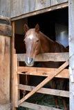 vänlig häst Arkivbild
