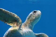 vänlig havssköldpadda Arkivbild