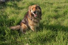Vänlig hund för tysk herde som sitter på gräset royaltyfria bilder