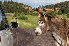 Vänlig lös burro Arkivbilder