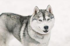 Vänlig le attraktiv grå skrovlig hund royaltyfri fotografi