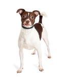 Vänlig liten Terrier blandad avelhund Royaltyfri Fotografi