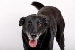 Vänlig och förtjusande korsninghund Royaltyfri Foto