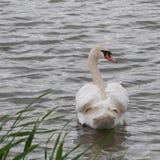Vänlig svan i lugna vatten Arkivfoton