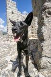 Vänlig tillfällig hund på väggarna av Ston Arkivbilder