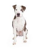 Vänliga och gulliga Pit Bull Dog Arkivbild