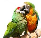 vänliga papegojor Arkivfoto