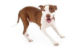 Vänliga Pit Bull Dog Playing Royaltyfri Bild