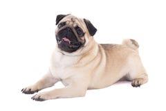 Vänligt ligga för mopshund som isoleras på vit Arkivbild