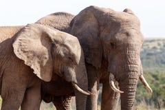 Vänner - afrikanBush elefant Fotografering för Bildbyråer