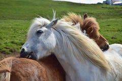 vänner Två isländska hästar som ansar sig arkivbild