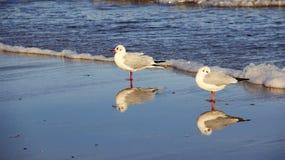 Vänseagull med reflexion på stranden arkivbilder