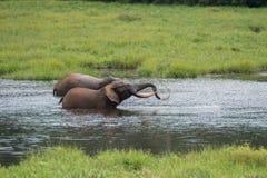 Vänskaplig elefant som två spelar i vattnet Republiken Kongo Arkivfoto
