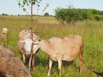 Vänskapligt lamm Fotografering för Bildbyråer