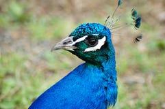 vänster seende påfågel till Royaltyfri Fotografi