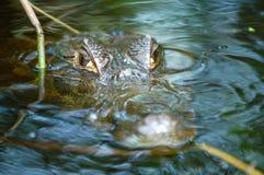 vänta för alligatoramazon flod Royaltyfria Bilder