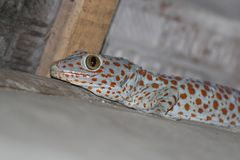 Vänta på ett mål, en geckos affärsföretag arkivbilder