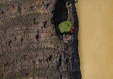 Vänta: Psittaculakrameri eller Rose Ringed Parakeet Juvenile royaltyfri foto