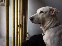 Väntande hund Arkivbilder