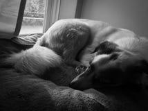 Väntande hund Arkivbild