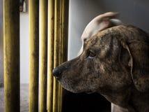 Väntande hund Arkivfoto