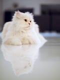 Väntande katt Fotografering för Bildbyråer