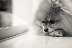 Väntande på ägare för ledsen och ensam hund, svartvitt skott Arkivfoton