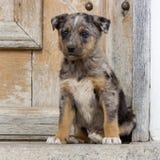 Väntande på adoption för valp Royaltyfri Foto